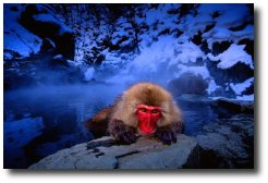 Un singe dans un onsen