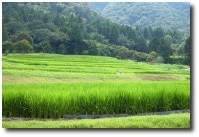 Riziere au Japon