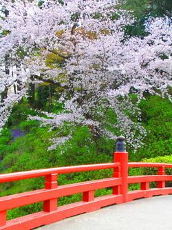 La floraison des cerisiers à Tokyo