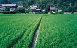 Une rizière